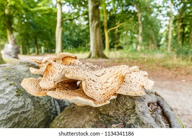 Close up of saddle mushroom, Polyporus squamosus, on dead tree trunk with on a blurred background a forest during the summer season