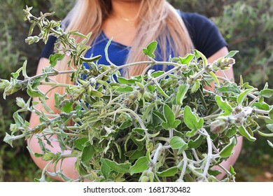 A close up of sage plant harvest in the hands of a female farmer
