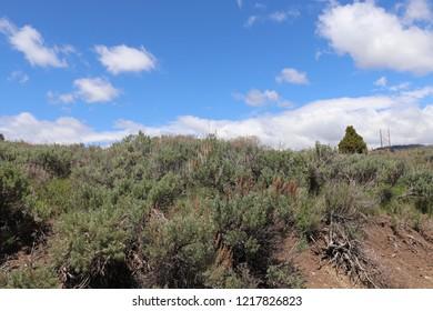 A close up of sagebrush at Soldier Summit Utah