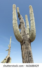 close up of Saguaro cacti on blue sky. The saguaro is an arborescent cactus species in the monotypic genus Carnegiea. It is a typical desert plant for Arizona and New Mexico.