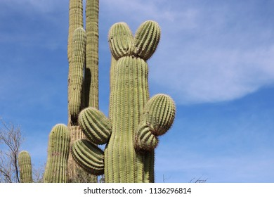 Close up of a saguaro cacti which resembes Mickey Mouse or a rabbit on the Desert Discovery Nature Trail in Saguaro National Park, Tuscon Mountain District, Arizona, USA