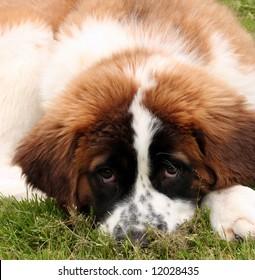 Close up of a Saint Bernard puppy