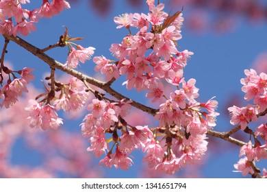 Close up Sakura blossom with blue sky