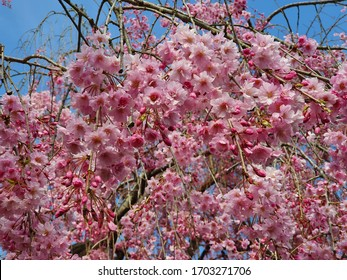 Close up sakura blossom in the park
