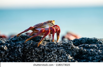 Close up of Sally Lightfoot Crab in the Galapagos Islands