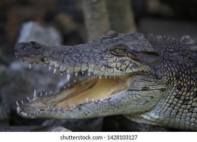 Close up of Saltwater crocodile (Crocodylus porosus)