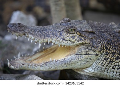 Close up of Saltwater crocodile (Crocodylus porosus)