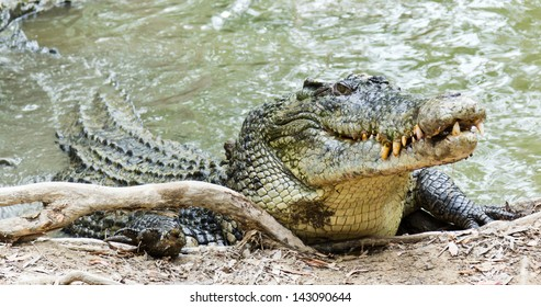 Close up of saltwater crocodile as emerges from water with a toothy grin. The crocodile's skin colorings and pattern camouflage the animal in the wild.