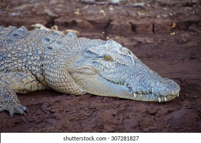 Close up of a Saltwater crocodile on a muddy riverbank.
