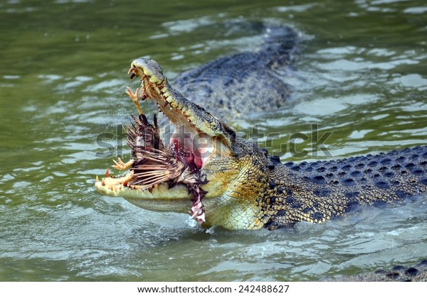 Close up of saltwater crocodile while devours a prey