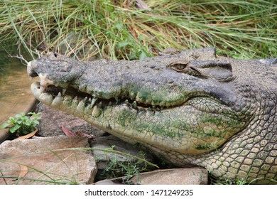 Close up of a saltwater crocodile's head