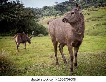 Close up of a Sambar Deer in Horton Plains National Park in Sri Lanka