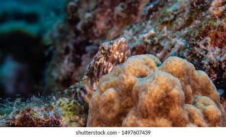 Close up of Sand Diver in coral reef of the Caribbean Sea around Curacao