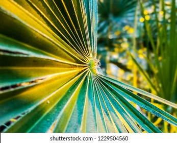 A close up of a saw palmetto upon sunset growing in Aarhus, Denmark within the Botanical Garden. A graceful looking plant with great long leafs with sun light upon them.