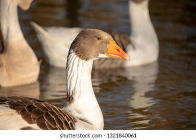 Close up of a Scania goose swimming in a pond, greylag goose, Anser anser, with orange beak, close up image of head and neck, blue eye,  blurry background, daylight.