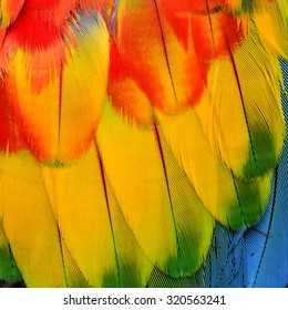 Close up of Scarlet Macaw feathers in sharp details in tri-colors of red yellow and blue background texture