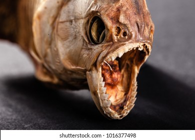 close up of the scary mouth of a dried pirana