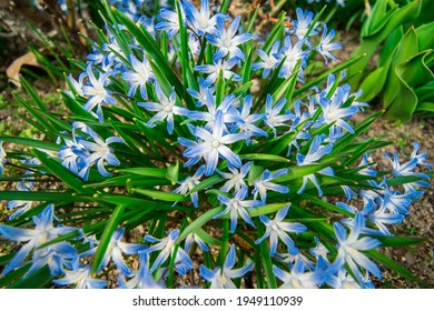Close up of Scilla forbesii, known as Forbes' glory-of-the-snow.