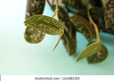 Close up of Scindapsus leaves, (also called Devil's ivy) a genus of flowering plants in the Araceae family, isolated on a turquoise gradient background.