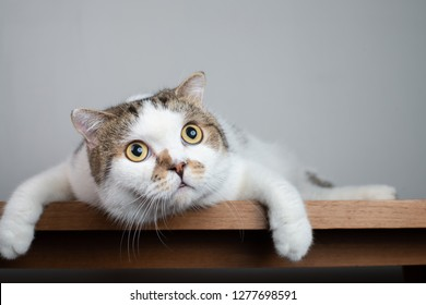 Close up Scottish fold cat head with shocking face and wide open eyes. Frighten or surprised cat when look at something.