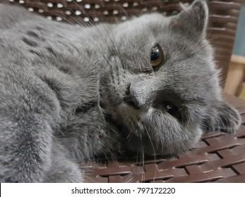 close up Scottish fold kitten with sleep pose