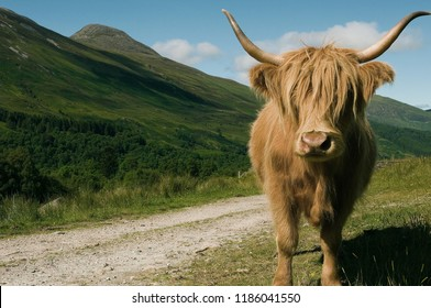Close up of scottish highland cattle in the field