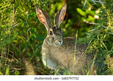 Close up of Scrub Hare with tansparent ears under a bush in the Central Kalahari in Botswana