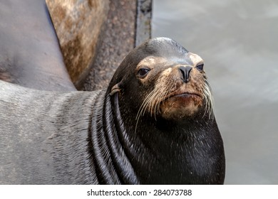 Close up of sea lion posing in sun on pier in river off northwest coast of the Pacific ocean