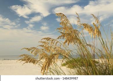 Close up of Sea oats on a beautiful white sand florida beach