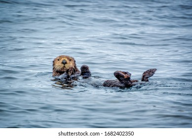 Close up of a sea otter in the ocean in Tofino, Vancouver island, British Columbia, Canada