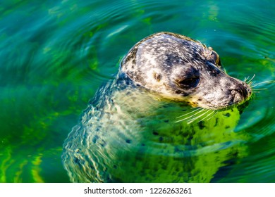 Close up of a Seal Head at Neeltje Jans island at the Delta Works Surge Barrier island in the province of Zeeland in the Netherland