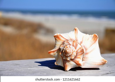 Close up of a seashell with beach and ocean in the background.