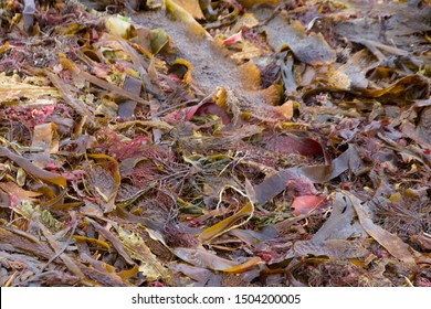 Close up of Seaweed and Kelp on the Beach