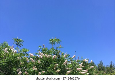 Close sectional view of the many cone-shaped flowers of a bird cherry tree, chock cherry tree, hackberry tree, a.k.a. Mayday tree in a large nature park area on a southern California spring day