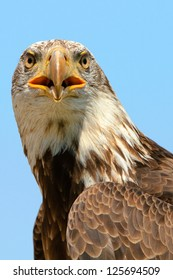 Close up of an see eagle
