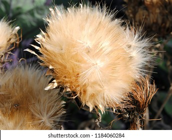 Close up of seed heads of cardoon or artichoke thistle (Cynara cardunculus) flowers in late summer