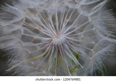 Close up of a seedling dandilion