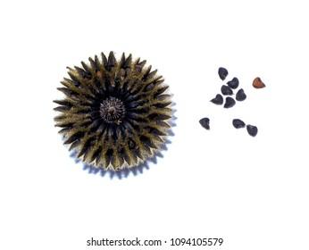 Close up seeds of Country mallow plant (Abutilon indicum)
