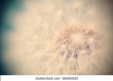 close up Seeds on Dandelion in a field. / Selective focus and Vintage style