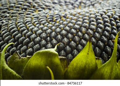 close up of the seeds in sunflower.