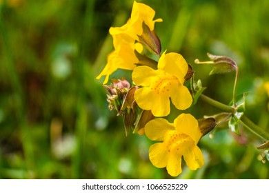 Close up of Seep monkey flower (Mimulus guttatus) blooming on the meadows of south San Francisco bay area, Santa Clara county, California