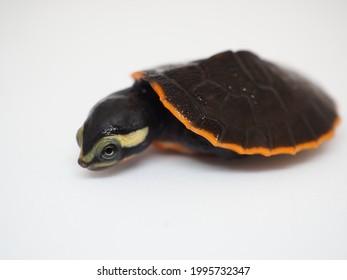 Close up and selective focus  of  Kura-kura Dada Merah or Kura-kura Sungai Jardine or Emydura subglobosa, The red-bellied short-necked turtle , pink-bellied side-necked turtle. - Shutterstock ID 1995732347