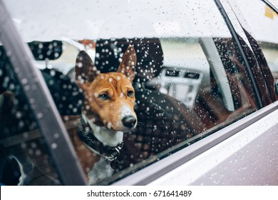 Close up with selective focus of lonely emotional basenji breed puppy patiently waiting for his owner inside car, with rain drops on window