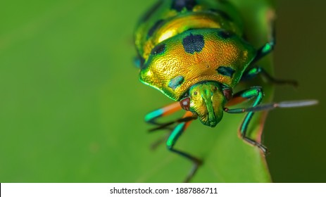 Close up Selective focus Macro image with high dynamic range of a lone jewel bug with vibrant colors siting on a leaf