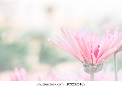 Close up and selective focus pink chrysanthemum flower in pastel and soft tone at garden , free space for add text.
