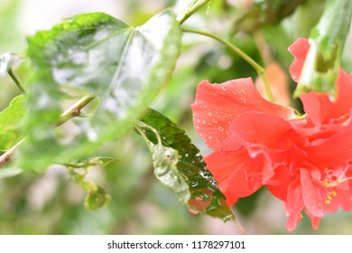 Close up and selective focus red hibiscus flower or Chinese rose with dew spotted or raindrops on blurred green leaves background and copy space.
