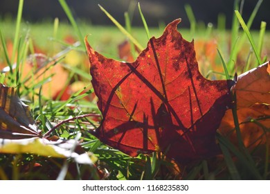 Close up Selective focuse Maple leaf Season Fall Autumn concept Back to school Copy space