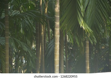 Close up and selective focusing of some betel nut plant ( areca catechu ) leaves and trunk also known as supari in India in day light
