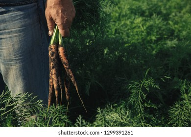 Close up of senior farmer hand holding carrots in his hand.