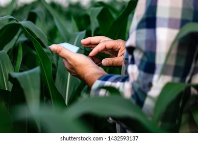 Close up of senior farmer hands in corn field with tablet in his hands and examining crop.